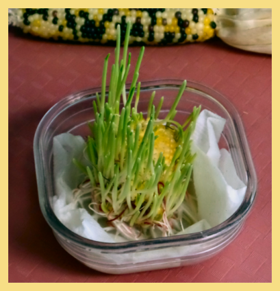 cornsprout